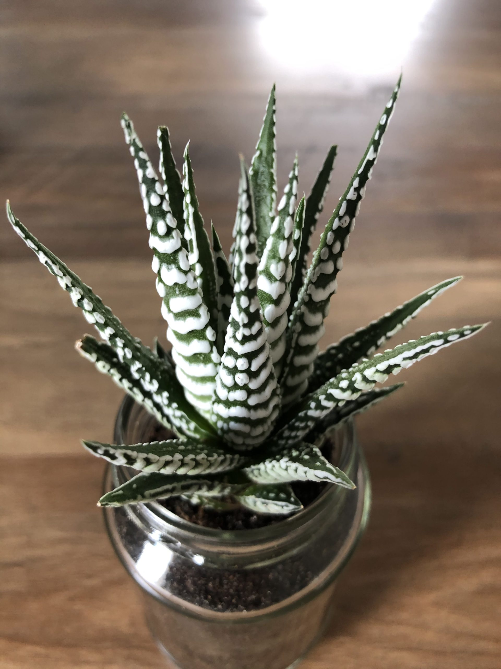 Haworthia Fasciata Zebra Haworthia Care Guide Succulents Network